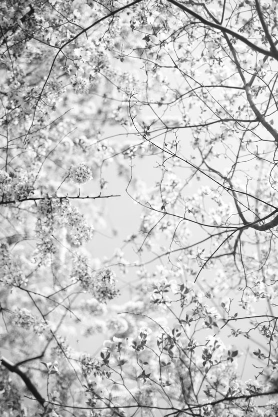 Cherry-Blossoms-6169